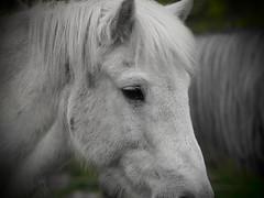 """White Horses (Say """"Wasabi"""") Tags: horse horses white whitehorse whitehorses olympus m43 40150 animal wildlife nature equine botley hampshire"""