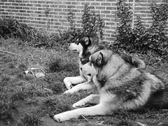 Dreamer (jondewi52) Tags: animal alaskan black blackandwhite dog dogs garden landscape monochrome musher malamute nature no nophilter photoshop philter outdoor outdoors sleddog sleddogs mushers white