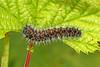 Emperor Moth - Saturnia pavonia (Roger Wasley) Tags: emperor moth saturnia pavonia bernwood forest caterpillar larva insect macro