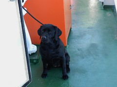 Waiting Patiently, MV Loch Nevis, Mallaig to Island of Eigg, May 2017 (allanmaciver) Tags: cute wee dog black sit wait patient longing look calmac motor vessel mallaig eigg island hopping allanmaciver