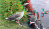 Nijlganzen Kralingseplas Rotterdam 3D (wim hoppenbrouwers) Tags: nijlganzen kralingseplas rotterdam 3d anaglyph stereo redcyan geese nilegeese