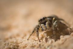 Hey ! (guillaume.randon) Tags: nikond7200 d kenko14 sigma105mm macro saltique araignée sauteuse