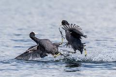 Kung Fu Coots! (Linda Martin Photography) Tags: fulicaatra dorset fighting coot wildlife canon5dmarkiv uk nature coth sunrays5