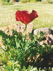 Eschscholzia #californianpoppy (John D McKenna) Tags: californianpoppy