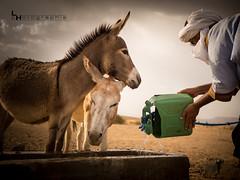 Quand tu bois de l'eau, pense à la source (#ferretmonamour) Tags: maroc desert erg chegaga eau ane animal sahara