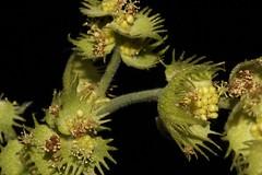 Macaranga tanarius (andreas lambrianides) Tags: macarangatanarius euphorbiaceae nasturtiumtree australianflora australiannativeplants australianrainforests australianrainforesttrees australianrainforestflowers arfp qrfp ntrfp cyprfp arfflowers welldevelopedrainforest marginalarf greenisharfflowers