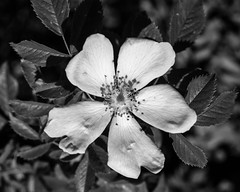 Wild Rose (Hyons Wood) (Jonathan Carr) Tags: largeformat monochrome bw landscape 4x5 rural northeast