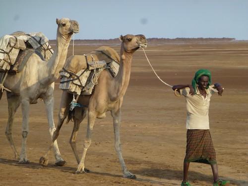 Camels transporting salt in Danakil Depression, Ethiopia
