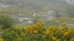 genêts dans la brume (b.four) Tags: genêt broomshrub ginestra mist nebbia brume alpesmaritimes gourdon ruby3 ruby10