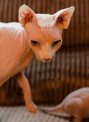 Don't you dare (LynxDaemon) Tags: sphinx cat nude unfur furless wierd weird vampire pink grey ears funny unusual wrinkled
