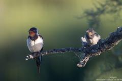 Hirondelles rustique: adulte et juvénile (gilbert.calatayud) Tags: barnswallow hirondellerustique hirundinidés hirundorustica passériformes bird oiseau ile de ré