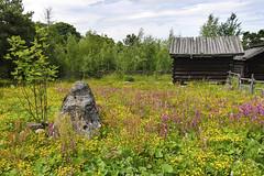 Field of flowers at Skansen in Stockholm, Sweden 18/6 2017. (photoola) Tags: stockholm djurgården skansen flower fiori fleurs photoola kwiaty sweden suede
