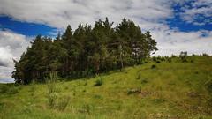 Pine grove (Unicorn.mod) Tags: 2017 june summer samyang samyang35mmf14asumc samyangmf35mmf14edasumcae myfocus pine grove pinegrove landsape nature sunlight outdoor