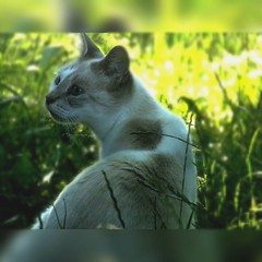 Chat 🐱📷 (Alex42100) Tags: demoi blanche chat nature campagne campain fields moustaches mustache blueeyes yeuxbleu