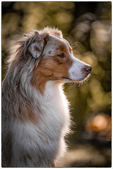 Summerportrait (juhwie.foto - PROJECT: LEIDENSCHAFT-LICH-T) Tags: summer portrait animal dog dogs aussie australian shepherd pentax k1 ricohimaging pentaxart