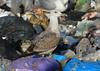 Goéland pontique - Larus cachinnans - Caspian Gull (Yann Brilland) Tags: goélandpontique laruscachinnans caspiangull oiseau avifaune laridés gull goéland larus