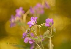 flowery thoughts flow ... (Elahe Dastgheib) Tags: elahe nature wild flower closeup vild blomma bokeh flowery thoughts flow outdoors
