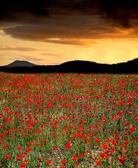...mille papaveri rossi... (gianclaudio.curia) Tags: tramonto papaveri campo nikon nikond610 sigma sigma24105 saariysqualitypictures