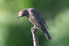 Northern rough-winged swallow, in Staten Island, New York, USA. June, 2017 (Tom Turner - NYC) Tags: swallow roughwingedswallow northernroughwingedswallow feathered winged wings featheredfriend bird nature wildlife tomturner statenisland newyork nyc bigapple usa unitedstates fortwadsworth perched brown