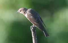 Northern rough-winged swallow, in Staten Island, New York, USA. June, 2017 (Tom Turner - NYC) Tags: swallow bird roughwingedswallow northernroughwingedswallow nature wildlife tomturner winged feathered statenisland newyork bigapple unitedstates usa nyc fortwadsworth perched brown