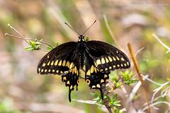 Black Swallowtail (Glotzsee) Tags: nature florida okeechobeecounty outdoors outside glotzsee glotzseefloridaimages butterfly insects blackswallowtail