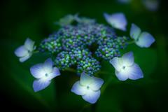 hydrangea 6688 (junjiaoyama) Tags: japan flower plant purple blue summer hydrangea