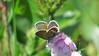 Silver-studded Blue Plebejus argus (cawthraw) Tags: silverstuddedblue plebejusargus boveyheathfield devon