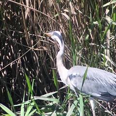 #Héron #cendré présent sur la réserve à #Antony #france #hautsdeseine #dansle92 (peregrinationsautourdumonde) Tags: birds bird oiseau oiseaux nature cendré antony france hautsdeseine dansle92