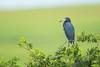 Little Blue Heron (Male) (Mark Schwall) Tags: bird breeding breedingplumage d500 egrettacaerulea heron heronry littleblueheron manualfocus marsh nj nikkor600mmf4ais nikon rookery southernnewjersey wadingbirds markschwallphotographycom