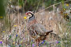 Red-Legged Partridge8 (anpena) Tags: birds partridges redleggedpartridge