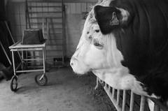 * (elisachris) Tags: bulle bull schwarzweis blackandwhite tier animal bauernhof farm ricohgr littledoglaughednoiret