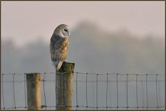 Barn Owl (image 1 of 2) (Full Moon Images) Tags: wicken fen nt national trust wildlife nature reserve cambridgeshire bird prey birdofprey post fence wire barn owl