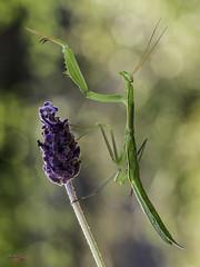 orquestal director (gatomotero) Tags: olympusomdem1 mzuiko60 mantis chulesca nature ambiente flares aliste zamora macrofield