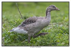 oostvaardersplassen-ncn-103 (voorhammr) Tags: 2017 ganzen groep hert ncn oostvaardersplassen zwaan zwaluwen