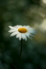 A dreamy flower (* mariozysk *) Tags: dreamy moody bokeh blurred background smc takumar 50mm f14