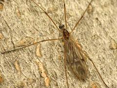 Limoniid Cranefly