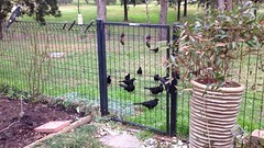 A local family of Choughs gathering for a bite and fight with some magpies and currawongs.. (spelio) Tags: birds wildlife garden mov video cracticines corvidae chough birdcalls singing