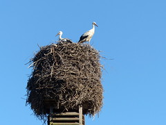 Ausschau-look-out for (Anke knipst) Tags: storch nest stork vogel bird halenbrook schleswigholstein germany