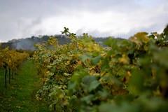 giribaldi_34 (sassiitalytours) Tags: wine piemonte castle rodello langhe altalanga vino winetours