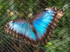 Himmelsfalter (Tobias Keller) Tags: 43 animal augsburg bavaria bayern botanischergarten butterfly deutschland germany himmelsfalter morphopeleides natur querformat schmetterlinge schwaben swabia tier tiere tierfoto botanicalgarden nature tropicalbutterflys tropischeschmetterlinge exif:isospeed=400 geocountry camera:make=panasonic exif:aperture=ƒ56 exif:focallength=42mm geostate geo:lon=10912955555555 geocity camera:model=dmcg5 exif:lens=lumixgvario1442f3556 geolocation geo:lat=48349641666667 exif:model=dmcg5 exif:make=panasonic lumixgvario1442f3556 panasonicdmcg5