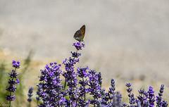 """Papillon """"Myrtil ?) sur lavande. (Crilion43) Tags: région véreaux feuillesfeuillage papillon fleursetplantes centre lavande animaux paysages massif villes"""