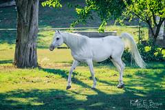 Arabian (BirdFancier01) Tags: animal domestic horse equine white backlit summer pasture arabian trot