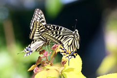 Swallowtail Butterfly in Flight (Johnnie Shene Photography(Thanks, 2Million+ Views)) Tags: swallowtailbutterfly butterfly oldworldswallowtail insect bug midair lepidoptera photography horizontal outdoor colourimage fragility freshness nopeople foregroundfocus adjustment fulllength depthoffield bokeh fly flying flight flapping wings limbs papiliomachaon papilio takeoff animal macro closeup magnified highangle nature natural wild wildlife livingorganism tranquility peace motion behaviour moment soaring sideview feeler black shape plant shortterm canon eos80d 80d tamron 90mm f28 11 lens 호랑나비 산호랑나비 나비 곤충 접사 매크로 spring day daylight