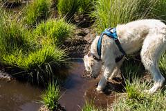 Teddy tests the water (Julia Livesey) Tags: longdog lurcher teddy warehamforest salukigreyhound wareham england unitedkingdom gb