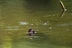 Turtle snout (marensr) Tags: turtle pond snout camouflage nature reptile