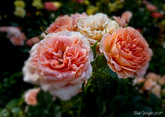 Fading but not Out. ( Explored ) (Bob.W) Tags: roses pink