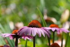 Echinacea Purpurea (JY_Photos) Tags: jyphotos indiana usa bw nikon nikond7500 affinityphoto tamron outdoor flowers sp70200mmf28g2 echinaceapurpurea coneflower columbus