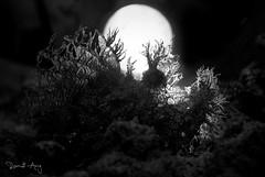 Full Moon (Randi Ang) Tags: rhinopiasfrondosa padang bai bali padangbai indonesia underwater scuba diving dive photography macro randi ang canon eos 6d 100mm randiang fish
