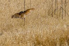 Burrowing Owl (fred h) Tags: antelpoe20173601 burrowingowl
