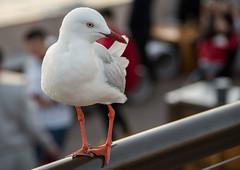 Another scavenger (OzzRod) Tags: pentax k1 smcpentaxda55300mmf458 sydney bird gull seagull silvergull operahouse bokeh